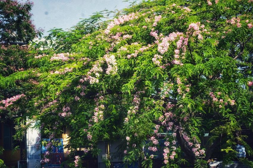Mê mẩn ngắm nhìn muồng hoa đào xứ Huế tỏa hương thơm khoe sắc hồng - Hình 6