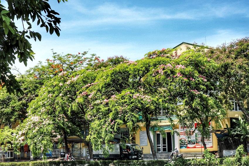 Mê mẩn ngắm nhìn muồng hoa đào xứ Huế tỏa hương thơm khoe sắc hồng - Hình 2