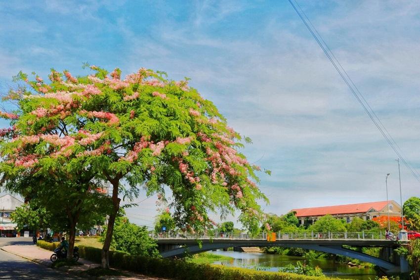 Mê mẩn ngắm nhìn muồng hoa đào xứ Huế tỏa hương thơm khoe sắc hồng - Hình 10