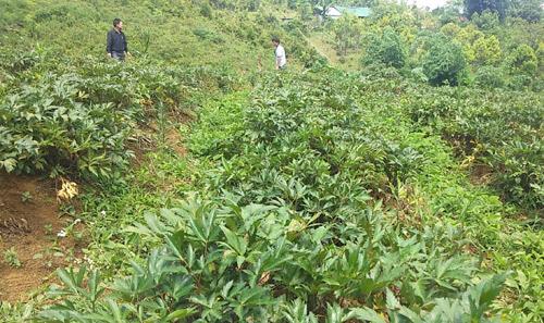 Vùng đất dân đổi đời nhờ trồng bạt ngàn các loài sâm quý - Hình 2