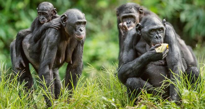 Loài vượn xứng danh bà mẹ tuyệt vời nhất tự nhiên: Tự tay dắt con đi hỏi vợ, lại đứng canh để chúng yêu đương cho tử tế - Hình 12