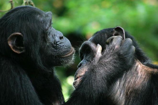 Loài vượn xứng danh bà mẹ tuyệt vời nhất tự nhiên: Tự tay dắt con đi hỏi vợ, lại đứng canh để chúng yêu đương cho tử tế - Hình 7