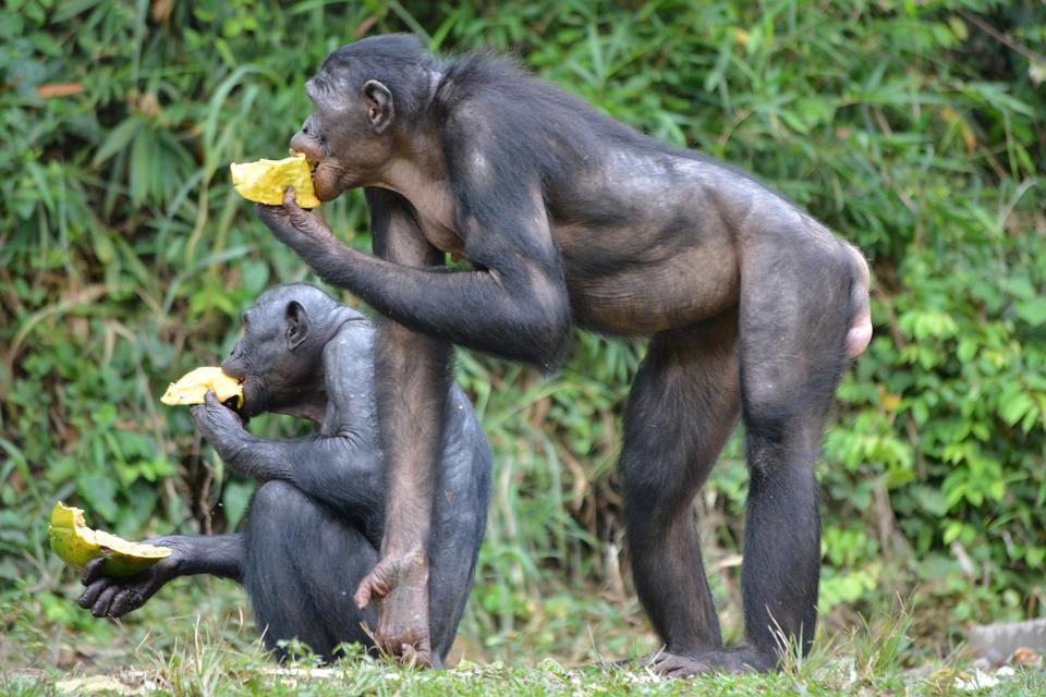 Loài vượn xứng danh bà mẹ tuyệt vời nhất tự nhiên: Tự tay dắt con đi hỏi vợ, lại đứng canh để chúng yêu đương cho tử tế - Hình 9