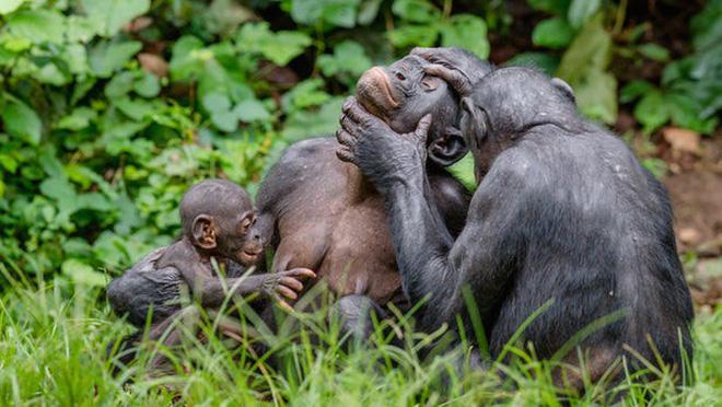 Loài vượn xứng danh bà mẹ tuyệt vời nhất tự nhiên: Tự tay dắt con đi hỏi vợ, lại đứng canh để chúng yêu đương cho tử tế - Hình 1