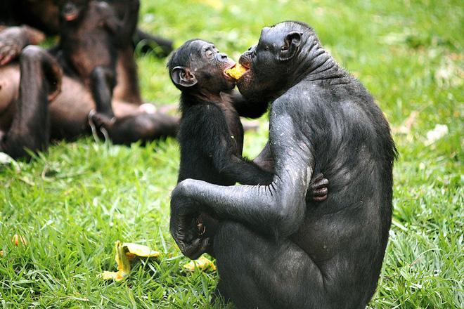 Loài vượn xứng danh bà mẹ tuyệt vời nhất tự nhiên: Tự tay dắt con đi hỏi vợ, lại đứng canh để chúng yêu đương cho tử tế - Hình 11