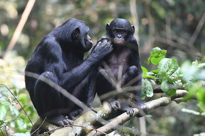 Loài vượn xứng danh bà mẹ tuyệt vời nhất tự nhiên: Tự tay dắt con đi hỏi vợ, lại đứng canh để chúng yêu đương cho tử tế - Hình 5