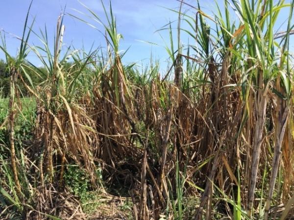 Khánh Hòa: Nắng rát da, cây chết cháy, nông dân mang ô ra đồng - Hình 4