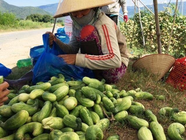 Khánh Hòa: Nắng rát da, cây chết cháy, nông dân mang ô ra đồng - Hình 2
