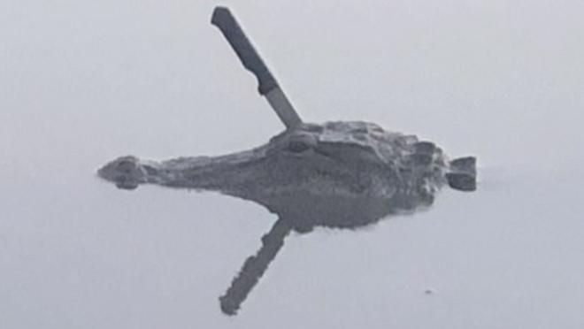 Mỹ: Phát hiện con cá sấu với nguyên con dao cắm trên đầu, chuyên gia động vật bảo nó không sao đâu - Hình 3