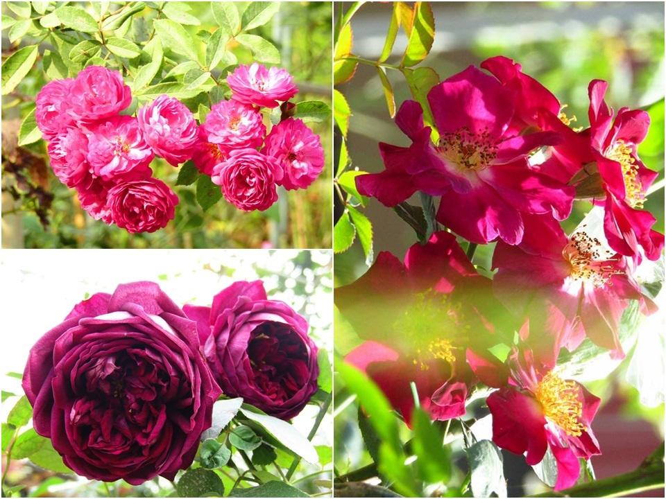 Vườn hồng níu giữ bước chân người ngắm nhờ vẻ đẹp lãng mạn như một bài thơ ở Hà Nam - Hình 44