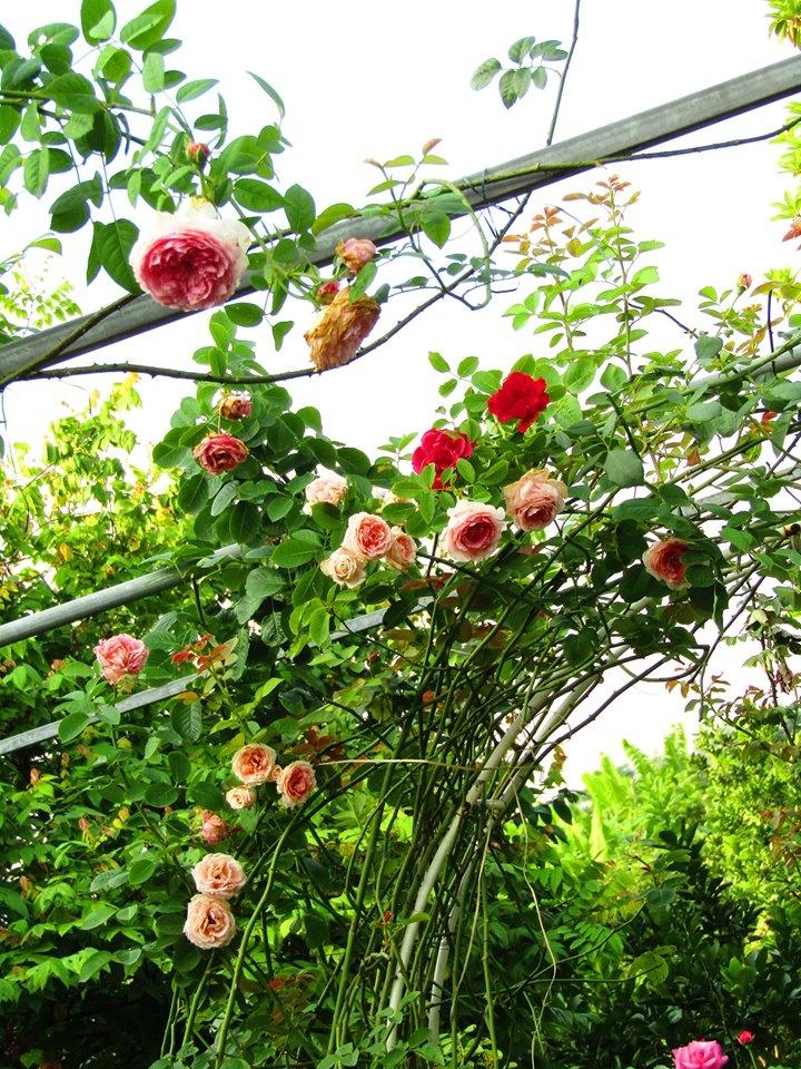 Vườn hồng níu giữ bước chân người ngắm nhờ vẻ đẹp lãng mạn như một bài thơ ở Hà Nam - Hình 3