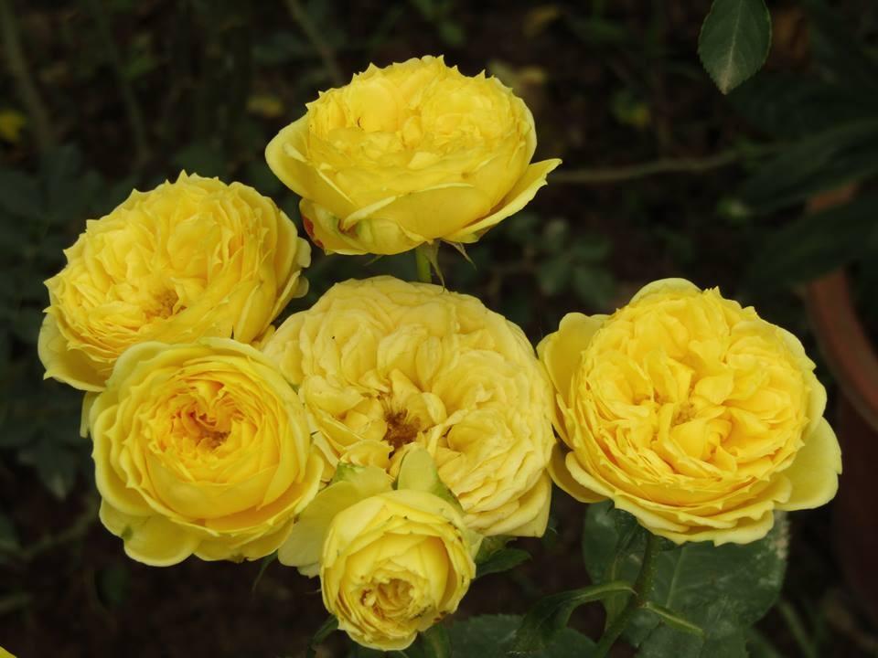 Vườn hồng níu giữ bước chân người ngắm nhờ vẻ đẹp lãng mạn như một bài thơ ở Hà Nam - Hình 38