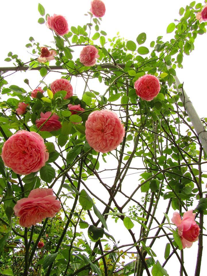 Vườn hồng níu giữ bước chân người ngắm nhờ vẻ đẹp lãng mạn như một bài thơ ở Hà Nam - Hình 31