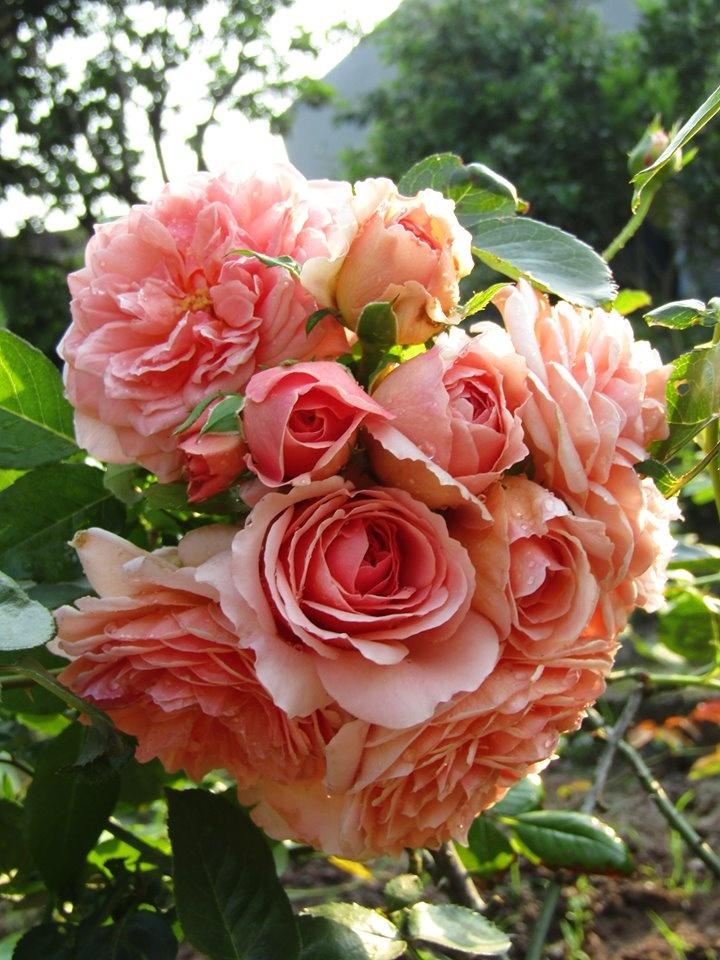 Vườn hồng níu giữ bước chân người ngắm nhờ vẻ đẹp lãng mạn như một bài thơ ở Hà Nam - Hình 27