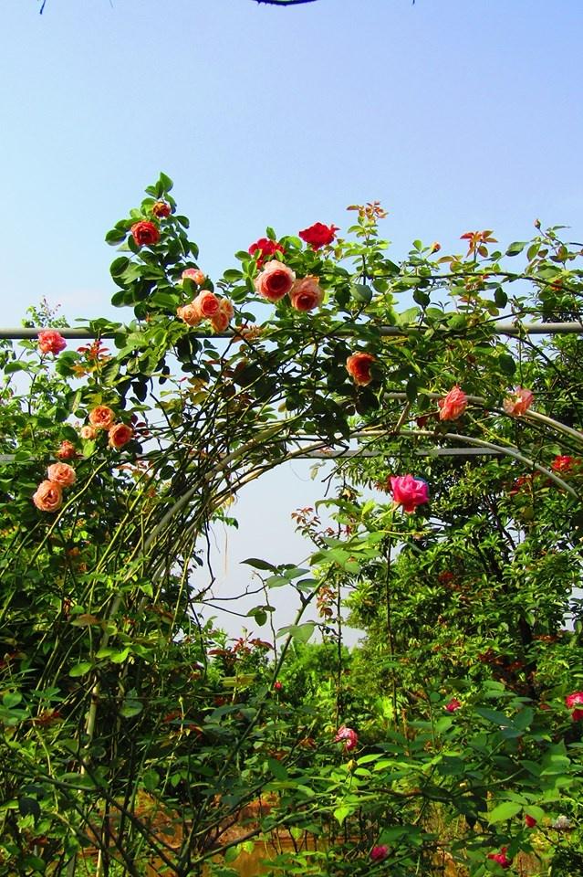 Vườn hồng níu giữ bước chân người ngắm nhờ vẻ đẹp lãng mạn như một bài thơ ở Hà Nam - Hình 5