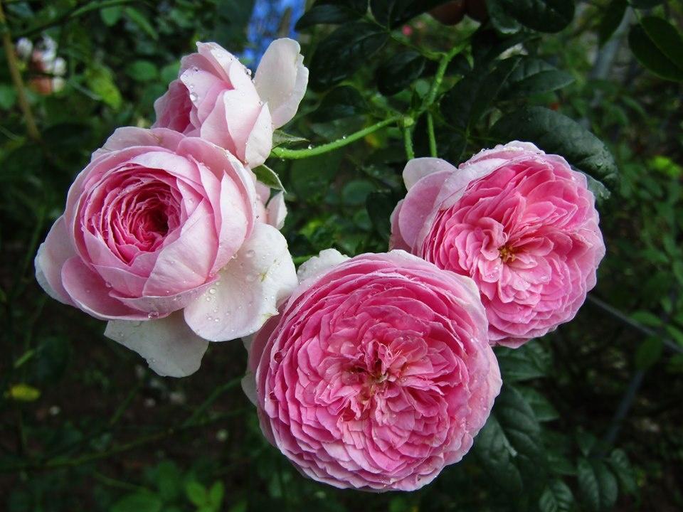 Vườn hồng níu giữ bước chân người ngắm nhờ vẻ đẹp lãng mạn như một bài thơ ở Hà Nam - Hình 16