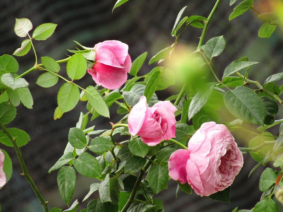 Vườn hồng níu giữ bước chân người ngắm nhờ vẻ đẹp lãng mạn như một bài thơ ở Hà Nam - Hình 39