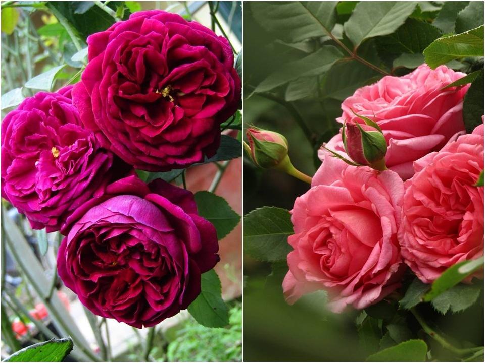 Vườn hồng níu giữ bước chân người ngắm nhờ vẻ đẹp lãng mạn như một bài thơ ở Hà Nam - Hình 45
