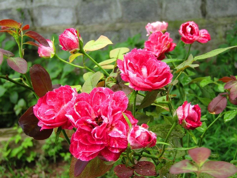 Vườn hồng níu giữ bước chân người ngắm nhờ vẻ đẹp lãng mạn như một bài thơ ở Hà Nam - Hình 12