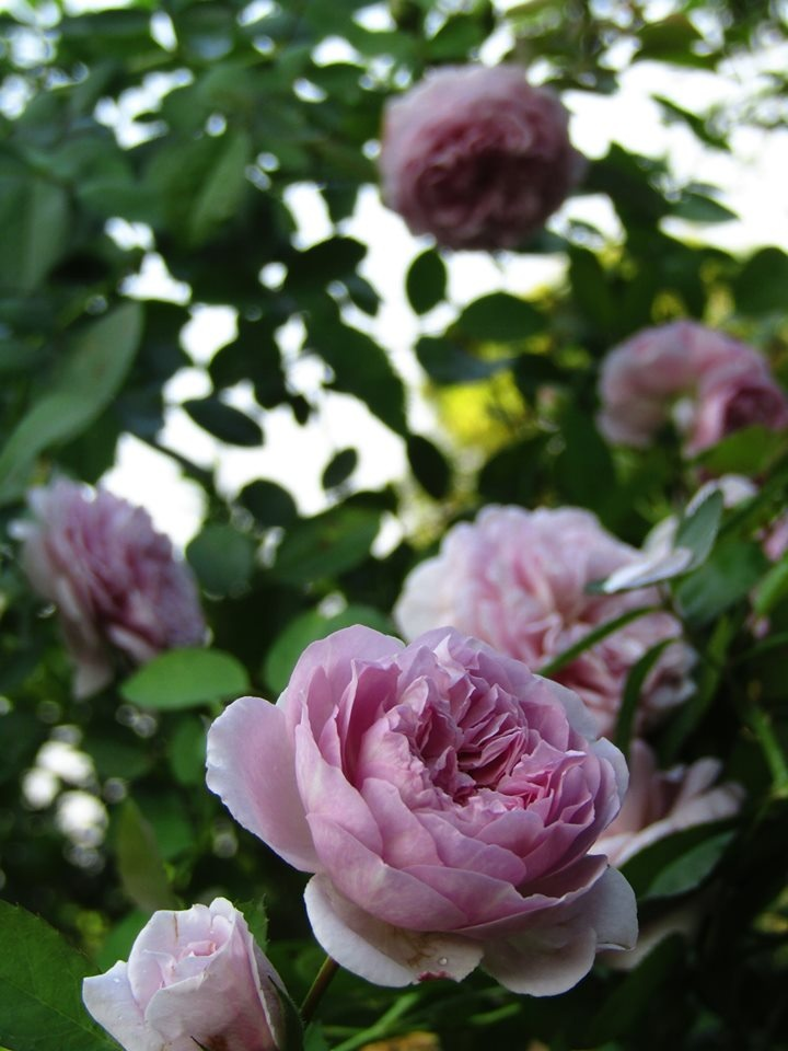 Vườn hồng níu giữ bước chân người ngắm nhờ vẻ đẹp lãng mạn như một bài thơ ở Hà Nam - Hình 20