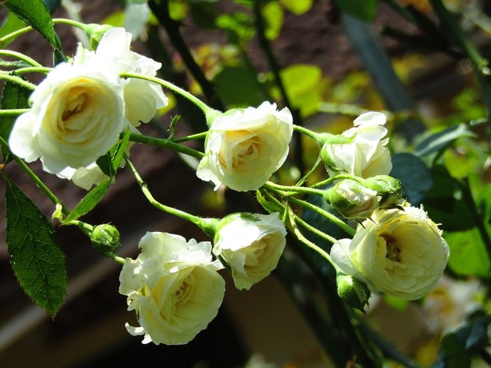 Vườn hồng níu giữ bước chân người ngắm nhờ vẻ đẹp lãng mạn như một bài thơ ở Hà Nam - Hình 25