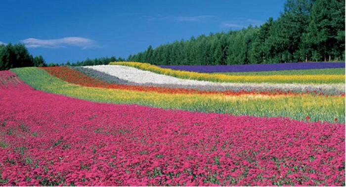 Đi Nhật Bản mùa hoa lavender nở: Những cánh đồng sắc màu - Hình 2