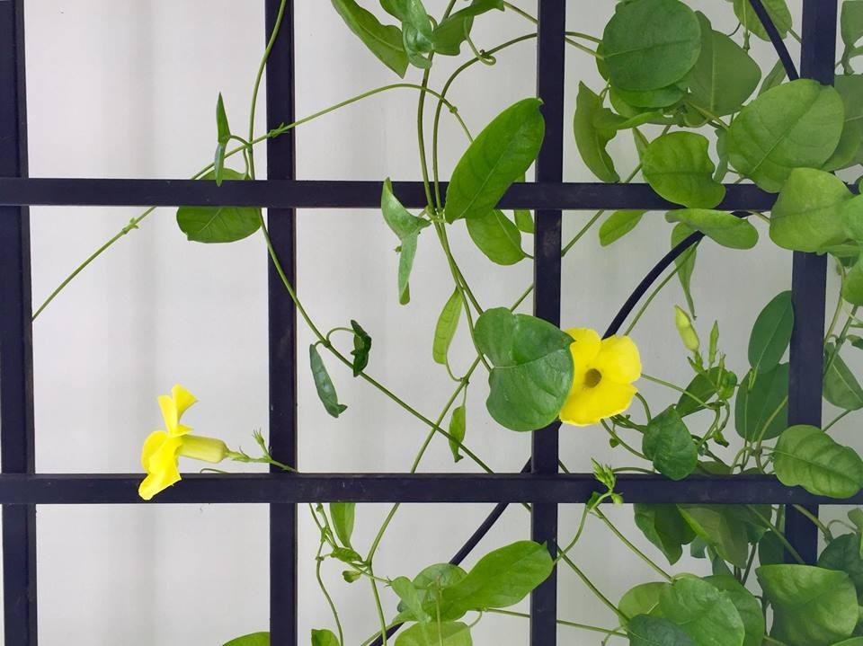 Ban công xanh mát trên tầng cao bất chấp nắng gió nhờ trồng rau và hoa ở TP HCM - Hình 34
