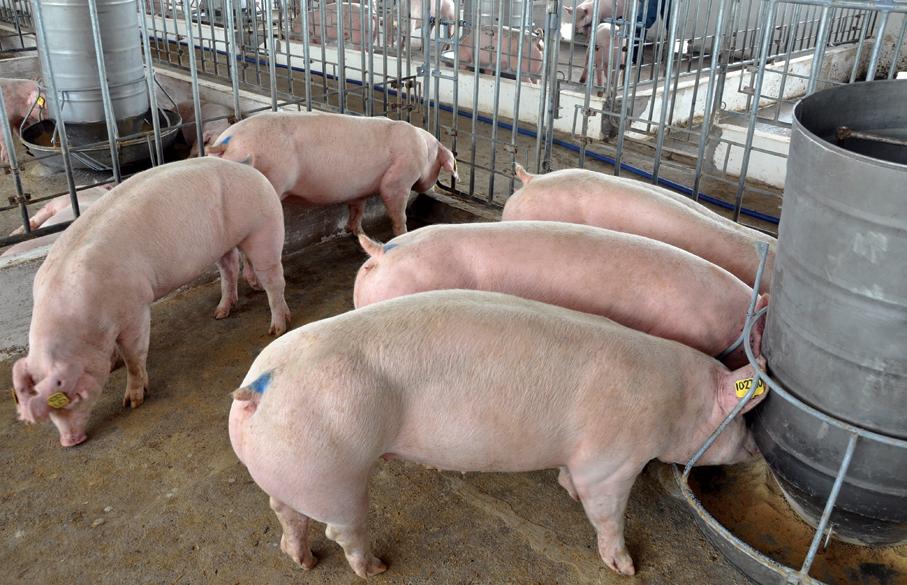 Chính phủ ban hành Nghị quyết mới phòng chống dịch tả lợn châu Phi - Hình 2