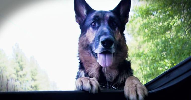 Chú chó anh hùng giải cứu cô gái khỏi vụ tai nạn, kéo nạn nhân hơn 30 mét để tìm sự giúp đỡ - Hình 1