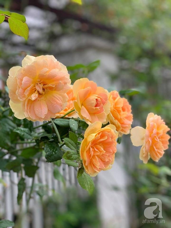 Cuộc sống bình yên của gia đình nhỏ trong ngôi nhà phủ kín hoa hồng ở Hà Nội - Hình 15