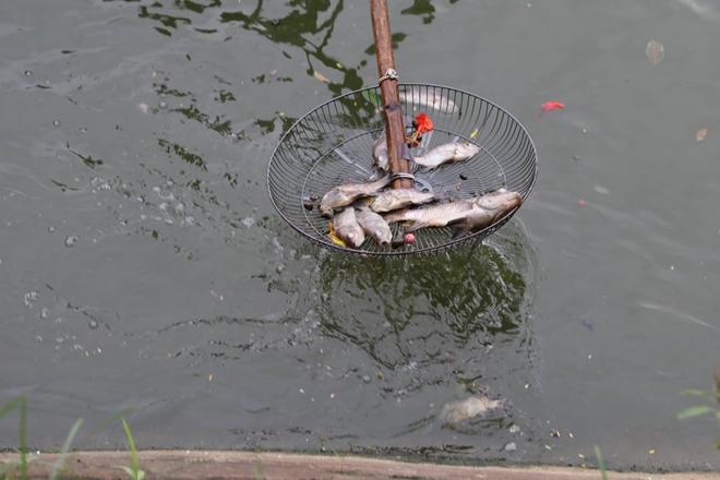 Cá chết hàng loạt nổi trắng hồ Văn Chương - Hình 9