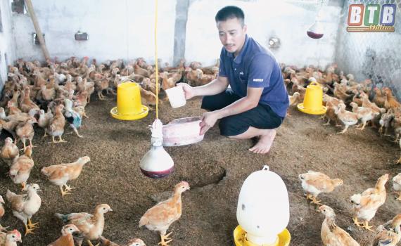 Thái Bình: Đàn lợn bị xoá sổ, nông dân liều mình nuôi gia cầm - Hình 1