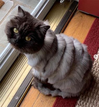 Con mèo trông như đàn Accordion sau khi bị tỉa lông - Hình 1