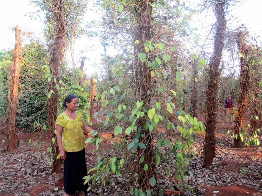 Gia Lai: Hàng nghìn ha hồ tiêu chết khô, dân mất hơn 900 tỷ đồng - Hình 1
