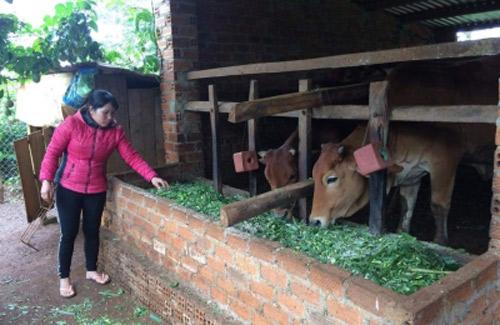 Thí điểm bảo hiểm trâu bò tại Đăk Lăk - Hình 1