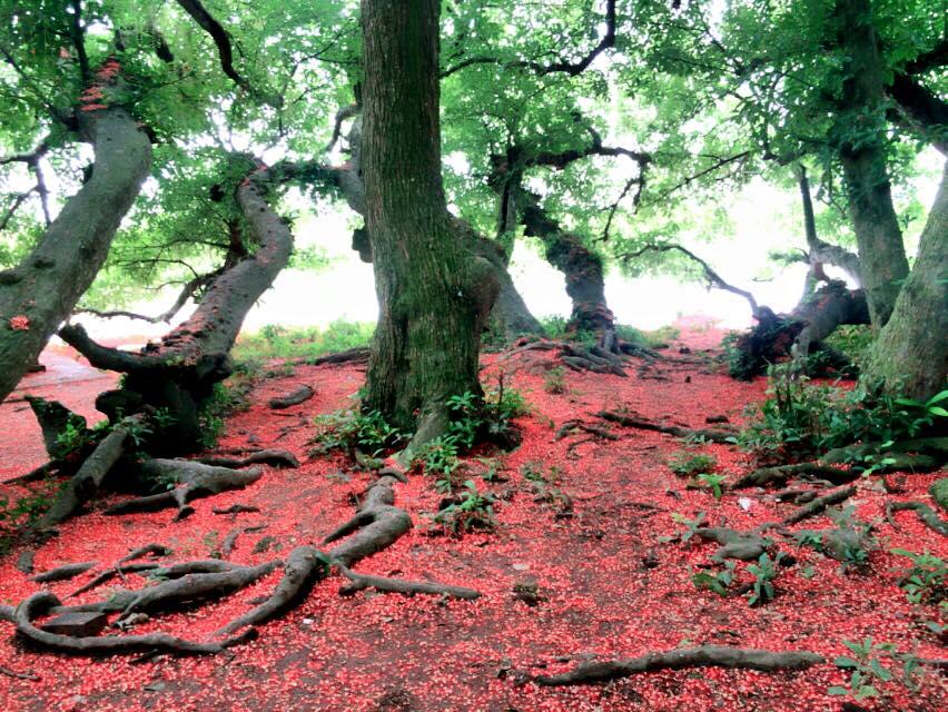 Chiêm ngưỡng sắc đỏ tuyệt đẹp của hoa lộc vừng ngàn năm tuổi ở gò Vình - Hình 5