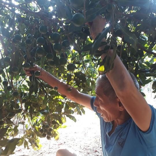 Lai Châu: Loài cây ra quả sai như sung, ăn vài hạt khỏe cả người - Hình 3