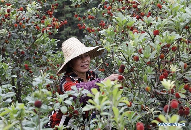 Loại quả từng làm mưa làm gió ở Việt Nam đang vào mùa thu ở TQ - Hình 3
