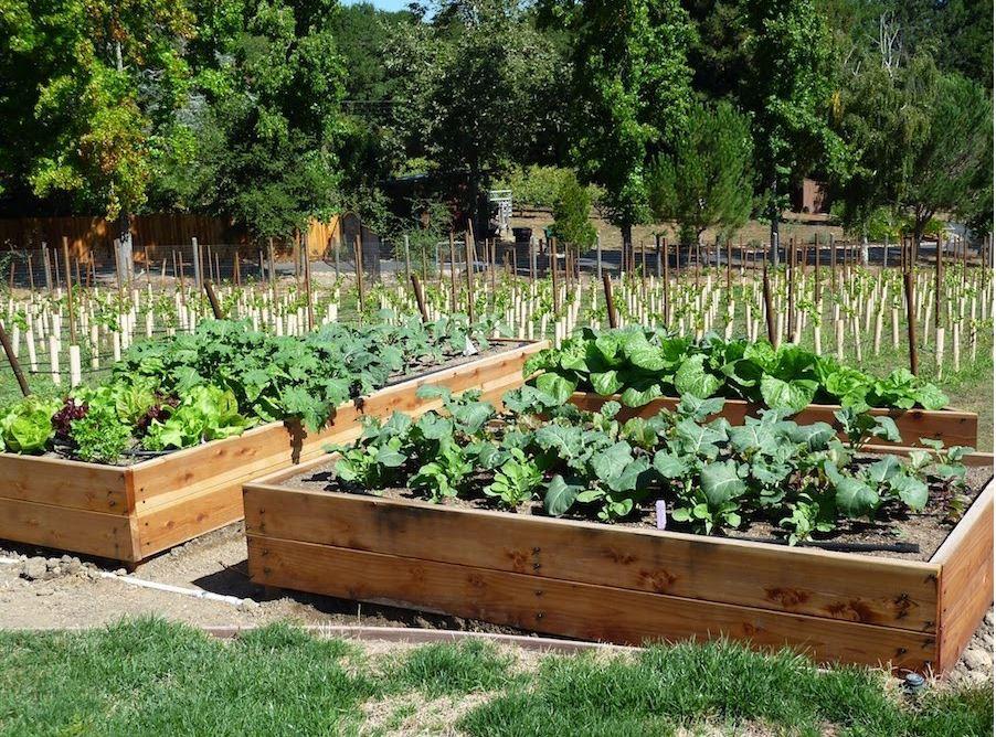 Dù không có nhiều kinh nghiệm trong trồng rau thì với 10 lưu ý dưới đây bạn vẫn có thể sở hữu một vườn rau tươi tốt - Hình 8