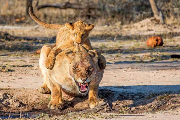 Chết cười những shipper bất đắc dĩ trong thế giới động vật - Hình 15