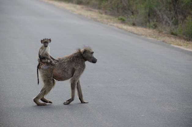 Chết cười những shipper bất đắc dĩ trong thế giới động vật - Hình 10