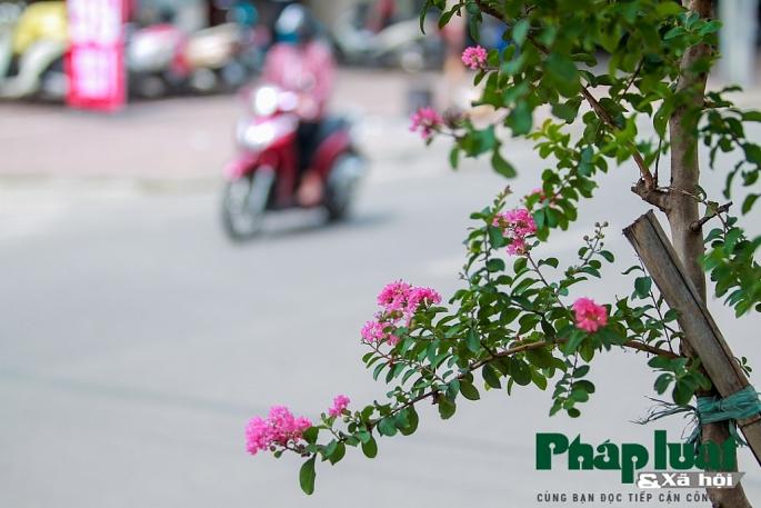 Ngắm đường hoa Tường Vi dài cả cây số trong nội thành Hà Nội - Hình 3