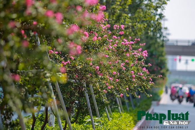 Ngắm đường hoa Tường Vi dài cả cây số trong nội thành Hà Nội - Hình 14