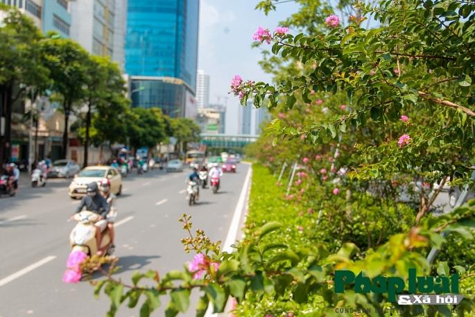 Ngắm đường hoa Tường Vi dài cả cây số trong nội thành Hà Nội - Hình 13