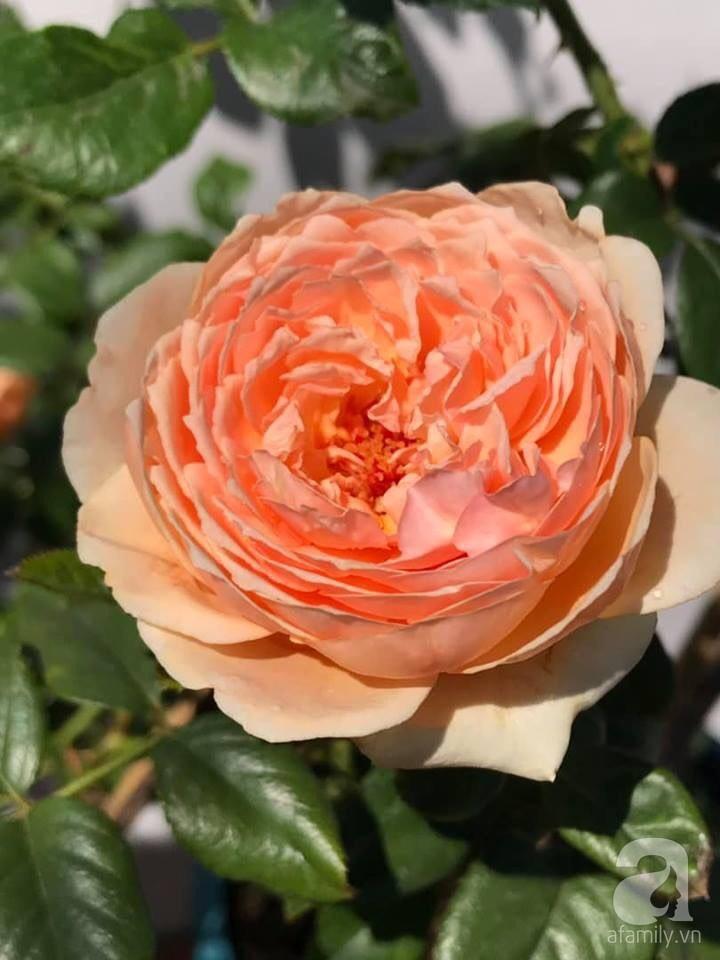 Sân thượng hoa hồng đẹp mộng mơ như trong cổ tích của cô giáo dạy Văn ở thành phố biển Nha Trang - Hình 46