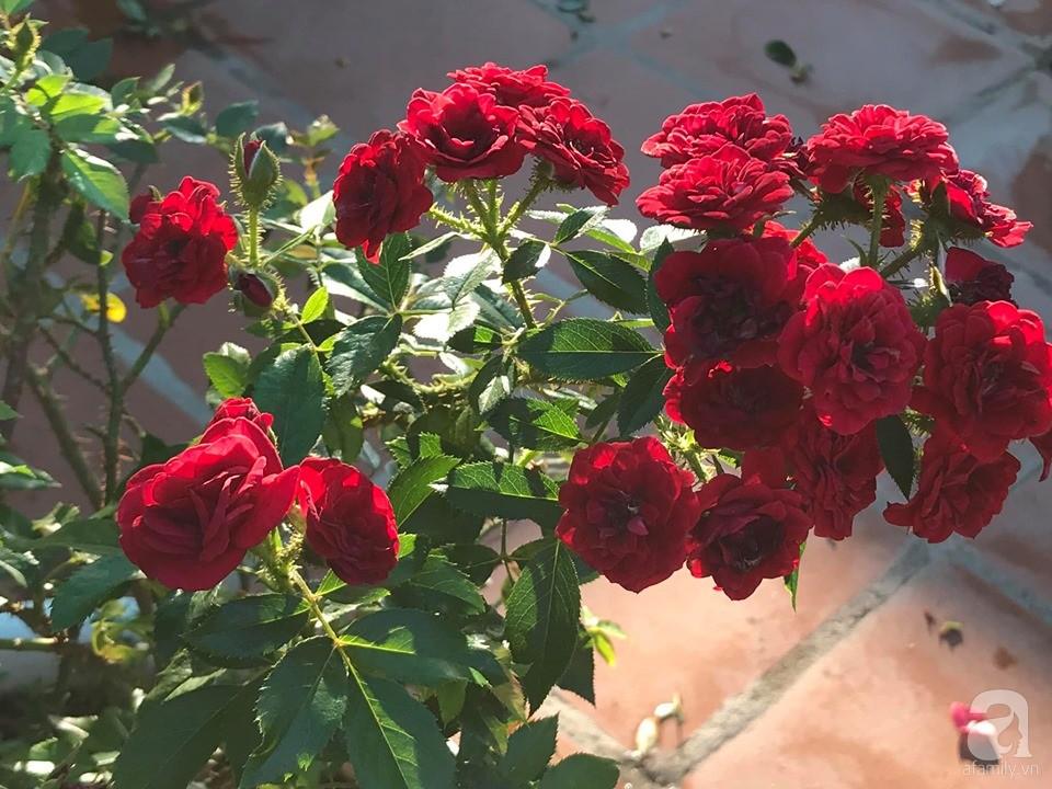 Sân thượng hoa hồng đẹp mộng mơ như trong cổ tích của cô giáo dạy Văn ở thành phố biển Nha Trang - Hình 27