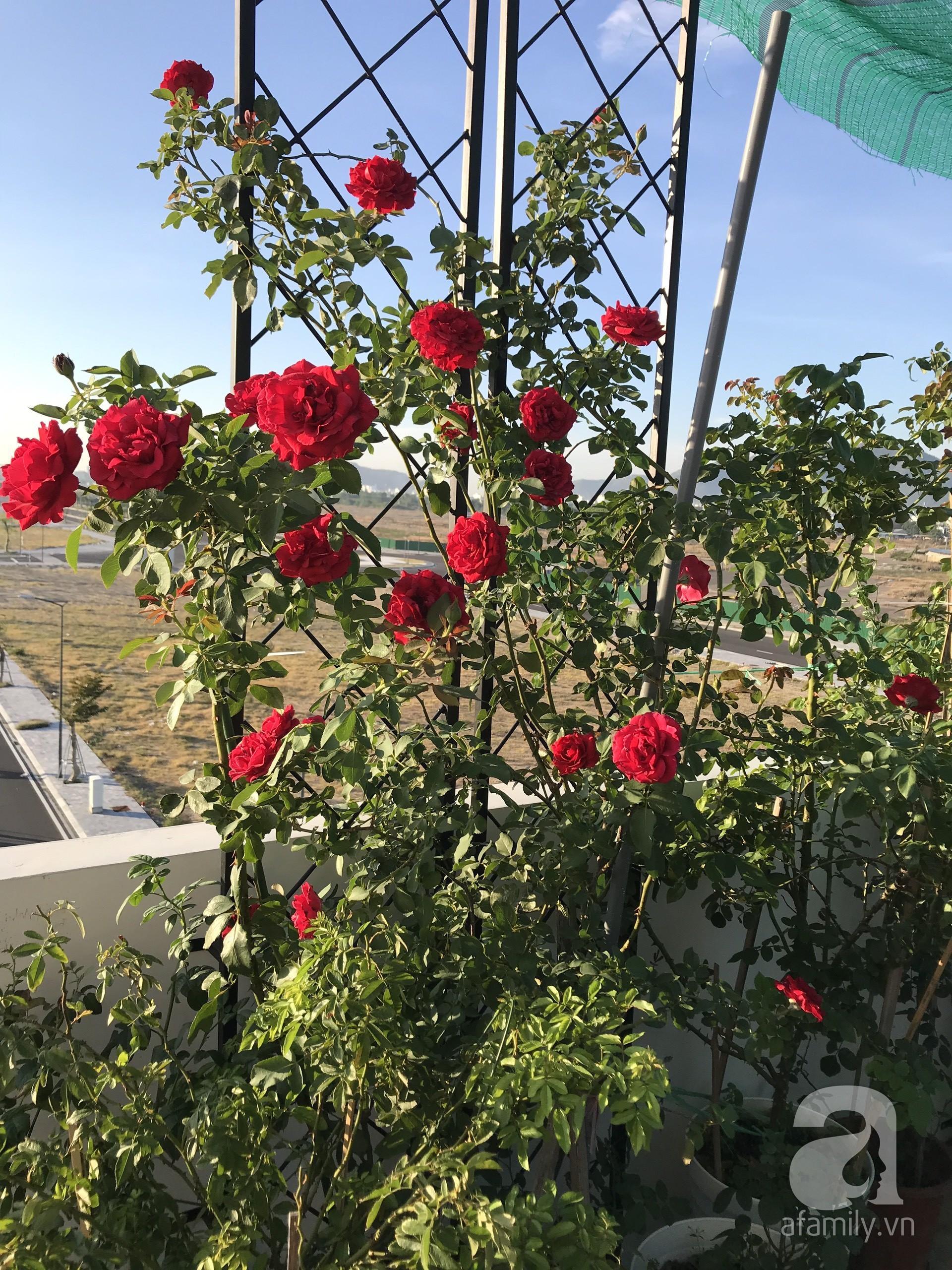 Sân thượng hoa hồng đẹp mộng mơ như trong cổ tích của cô giáo dạy Văn ở thành phố biển Nha Trang - Hình 40