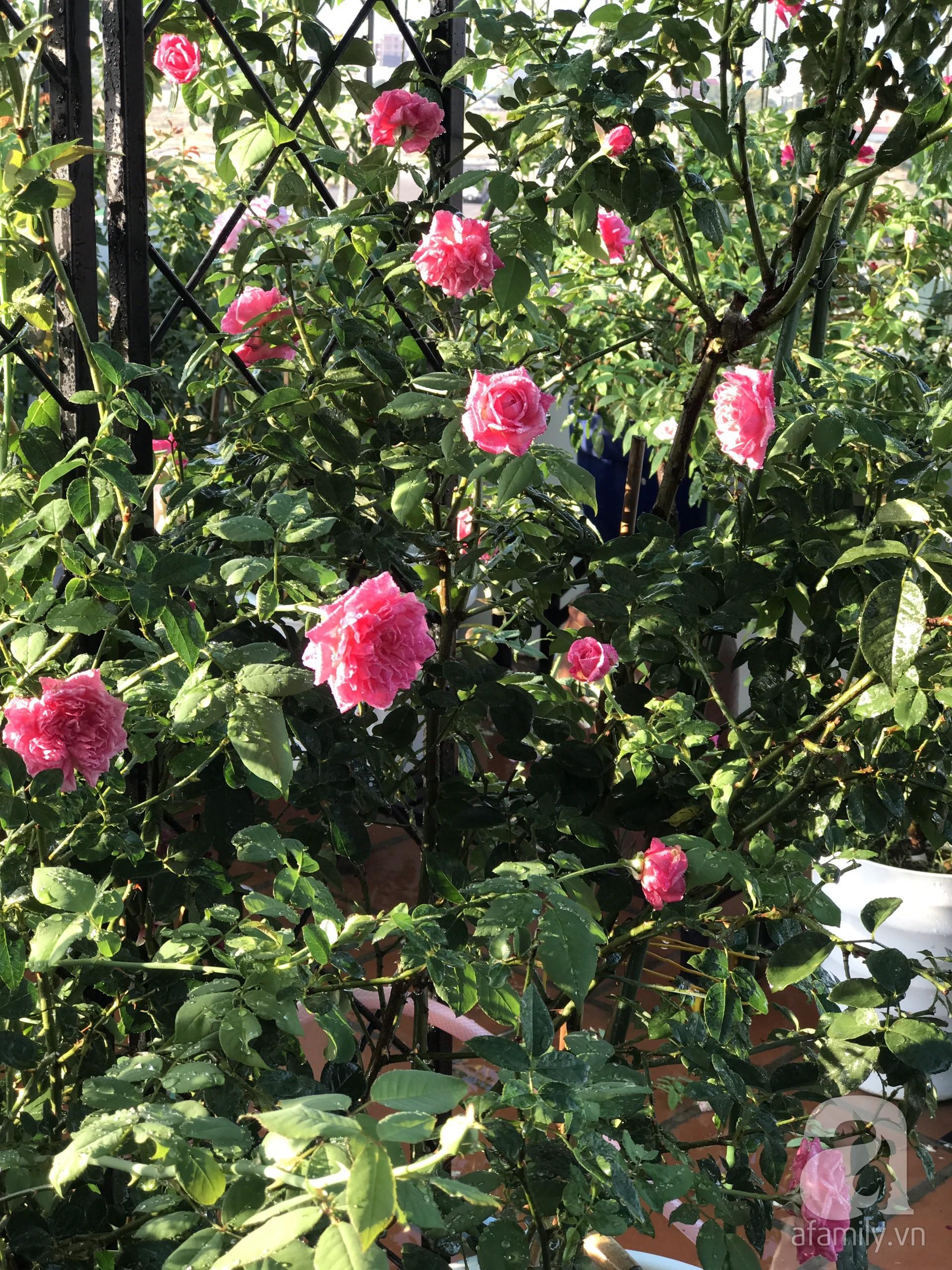 Sân thượng hoa hồng đẹp mộng mơ như trong cổ tích của cô giáo dạy Văn ở thành phố biển Nha Trang - Hình 18