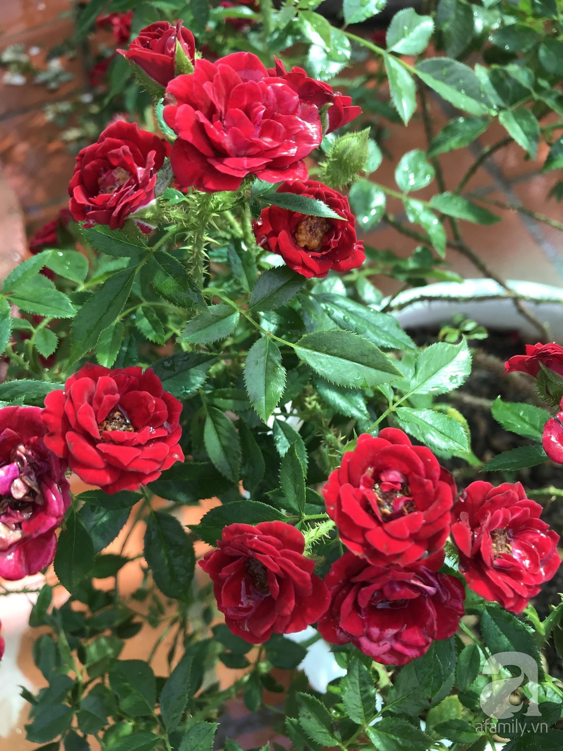 Sân thượng hoa hồng đẹp mộng mơ như trong cổ tích của cô giáo dạy Văn ở thành phố biển Nha Trang - Hình 8