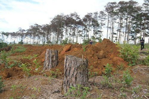 Vụ đầu độc hơn 600 cây thông : Khởi tố, bắt tạm giam 6 đối tượng - Hình 3